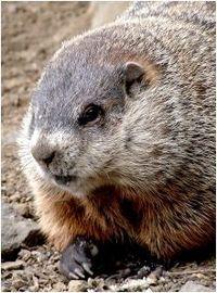 220pxcloseup_groundhog